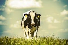 Vache laitière à la campagne, avec le beau ciel à l'arrière-plan Photo libre de droits