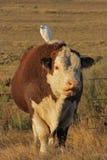 Vache laitière Photographie stock