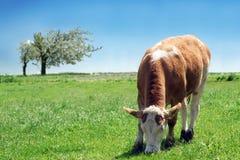 Vache laitière Images stock