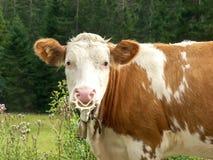 Vache laitière alimentée par gamme alpine III Images stock