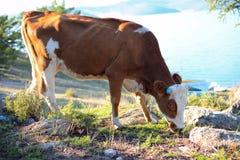 Vache laitière avec les klaxons bleus image libre de droits