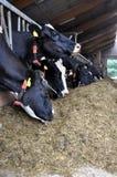 Vache laitière dans la cloche de vache Photos stock