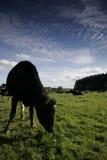 Vache laitière dans un pré Photos stock