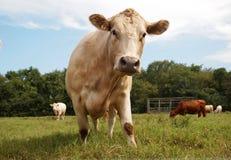 Vache laitière de soleil photo stock