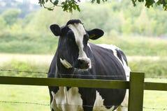 Vache laitière frôlant un pré Photographie stock libre de droits
