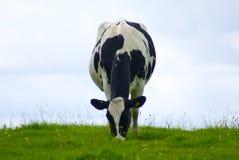 Vache laitière frôlant un pré photos libres de droits