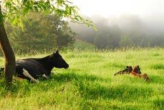 Vache laitière et Calfs nouveau-né Photos stock