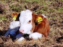 Vache le Northumberland, Angleterre à bébé LE R-U photographie stock libre de droits