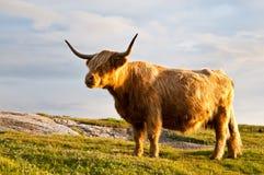 Vache magnifique à galloway avec des klaxons Images stock