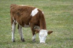 Vache mangeant l'herbe Photographie stock libre de droits