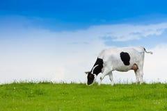 Vache mangeant l'herbe photo stock