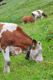 Vache mangeant l'herbe Images libres de droits