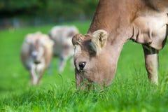 Vache mangeant l'herbe Photographie stock