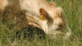 Vache mangeant l'herbe banque de vidéos