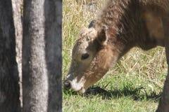 Vache mangeant l'herbe Image libre de droits