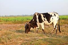 Vache mangeant l'herbe au champ Photos stock
