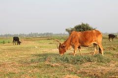 Vache mangeant l'herbe au champ Photographie stock libre de droits