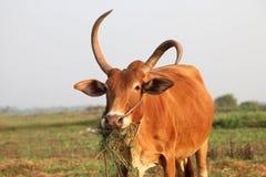 Vache mangeant l'herbe au champ Images stock