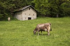 Vache mangeant l'herbe d'un pré dans les montagnes photographie stock libre de droits