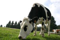 Vache mangeant l'herbe - pâturage Photo stock