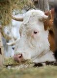 Vache mangeant le foin Photo stock