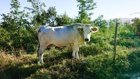 Vache masculine taureau photos stock