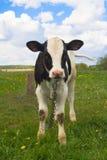 Vache mignonne à chéri Images libres de droits