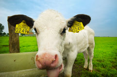 Vache mignonne à chéri Photo stock
