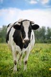 Vache noir-blanche repérée Images libres de droits