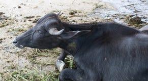 Vache noire Photo stock