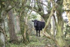 Vache noire dans une forêt Image libre de droits