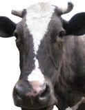 Vache noire et blanche Image stock