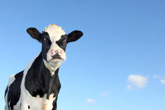 Vache noire et blanche Photos stock