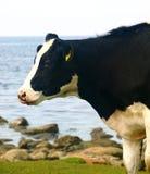 Vache noire et blanche Images libres de droits