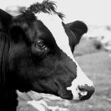 Vache noire et blanche Photos libres de droits