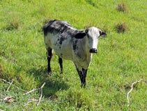 Vache noire et blanche Photographie stock