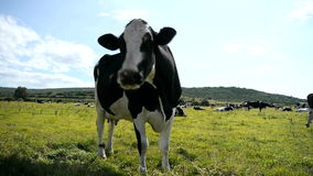 Vache noire et blanche dans un pâturage clips vidéos