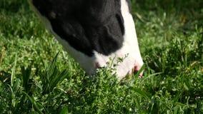 Vache noire et blanche frôlant l'herbe dans le pré clips vidéos