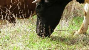 Vache noire et blanche mangeant l'herbe sur le pâturage banque de vidéos
