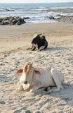 Vache noire et blanche ou mensonge ou repos de taureau sur la plage, sur la mer Photo libre de droits