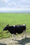 Vache noire et blanche sur la côte de kerry Images stock