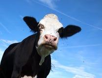 Vache noire fâchée Photographie stock