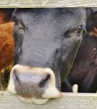 Vache noire fouineuse Photographie stock
