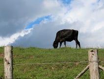 Vache noire mangeant dans le pâturage un jour d'été Photographie stock