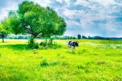 Vache noire sur le champ vert photos libres de droits