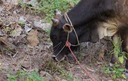 Vache noire thaïlandaise mangeant l'herbe Image libre de droits