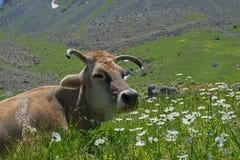 Vache parmi le pyrèthre blanc Photographie stock libre de droits