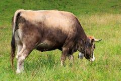 Vache passant en revue Photos libres de droits