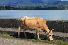 Vache près de réservoir d'eau Images libres de droits