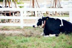 Vache quotidienne dans la terre de ferme sur le côté de pays de la Thaïlande Photos libres de droits